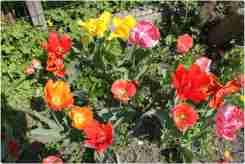 Tulpenperkje